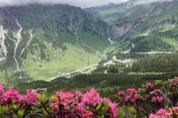Alpenrosen1